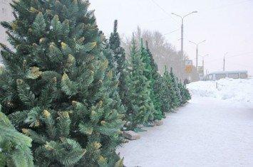 живые елки, выбор елки на праздник