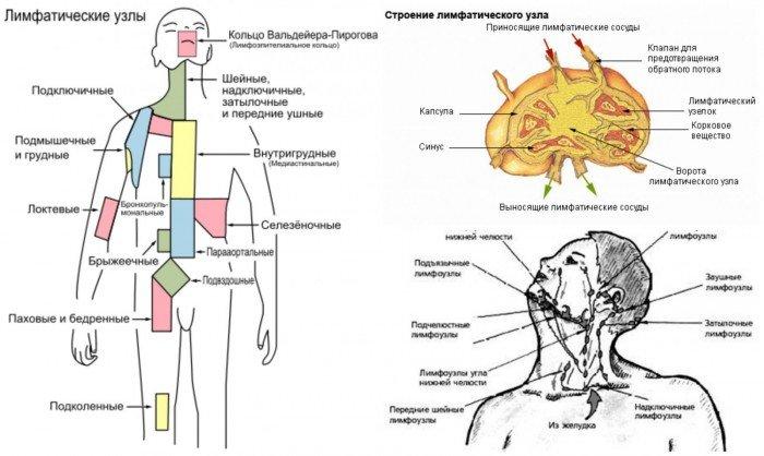 Воспаление лимфоузлов у детей: о чем это может свидетельствовать, лимфатическая система человека