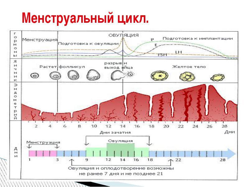 Цикл Менструальный фото