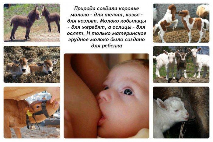 Коровье молоко - для теленка, козье - для козленка, и только материнское - для ребенка