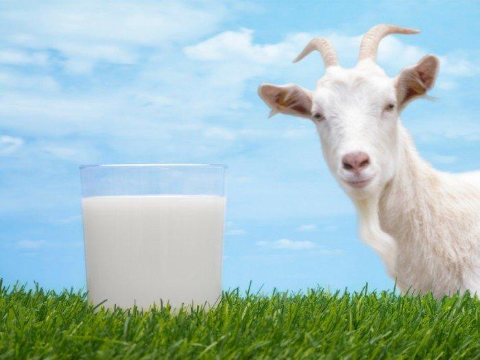 Козье молоко грудничкам: давать или не давать