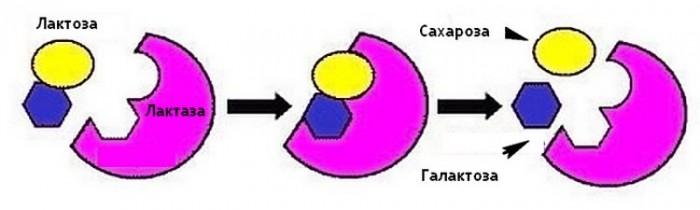 Расщепление лактозы на простые моносахариды