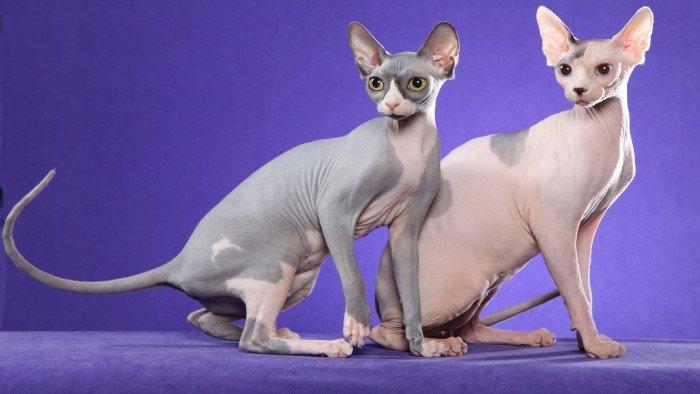 Кошки породы «Сфинкс»