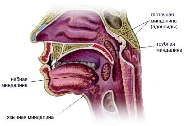 Расположение миндалин