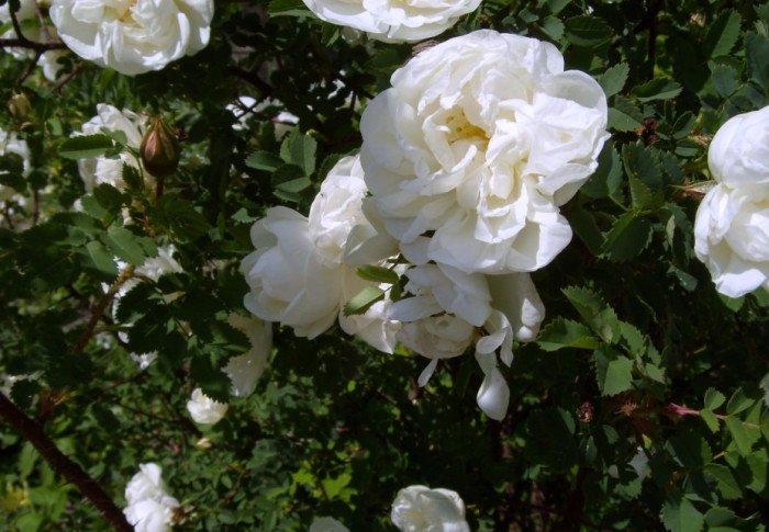 Шиповник цветёт