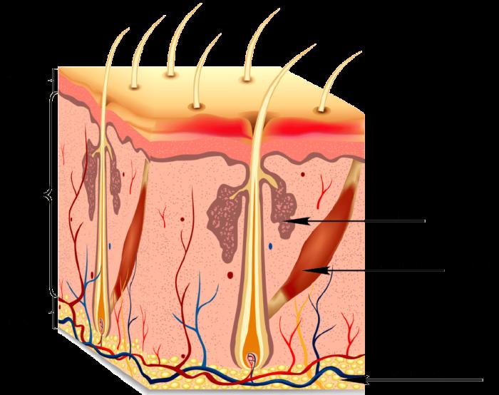 Сальные железы
