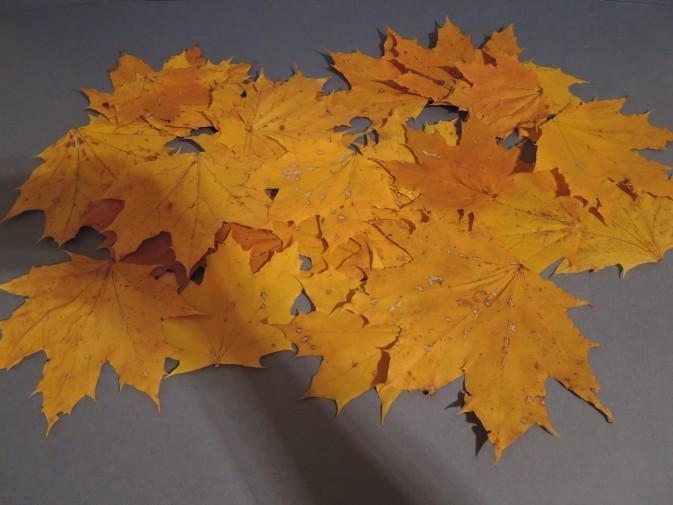 Жёлтые кленовые листья без черенков