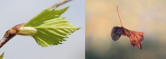 Листок появляется из почки; увядший лист падает в воздухе