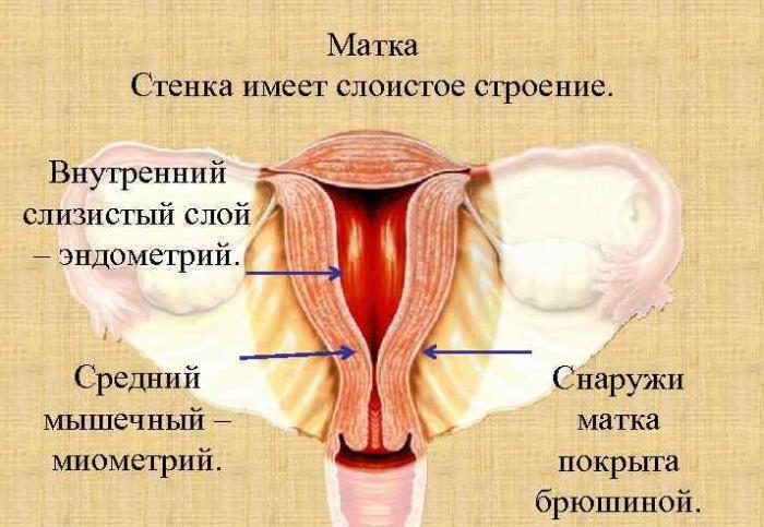 Изображение строения стенок матки
