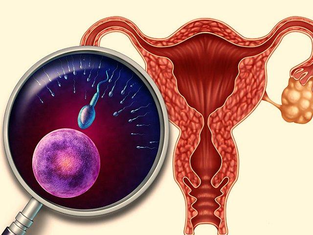 Яйцеклетка и сперматозоид