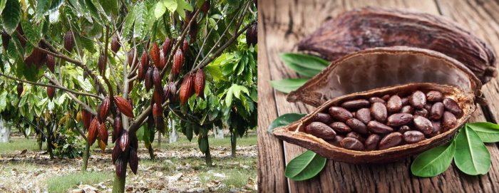 Дерево какао; его плоды