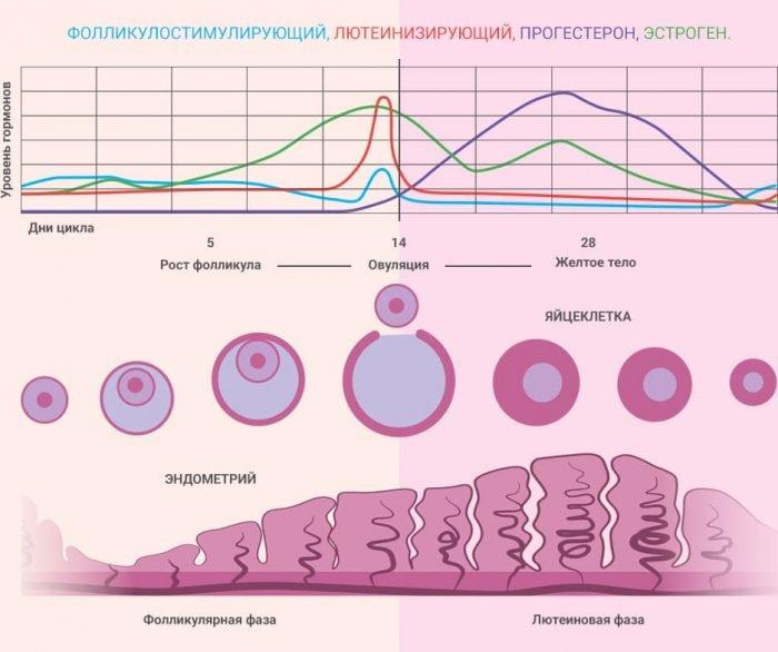 фазы цикла и график работы гормонов