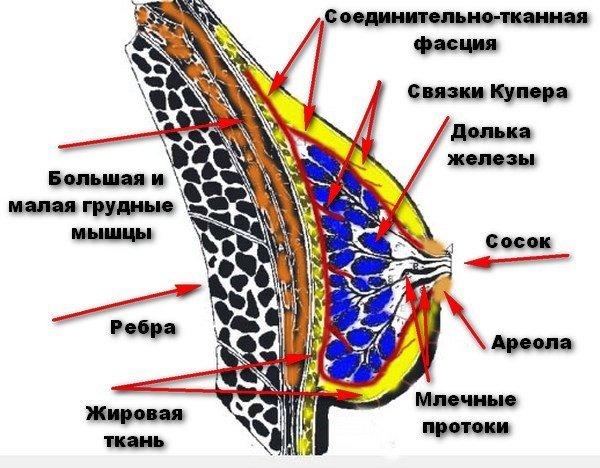 внутреннее строение женской груди