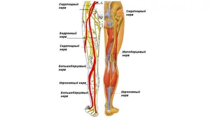 Нервы таза и нижних конечнстей