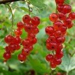 Красная смородина на кусте с каплями воды