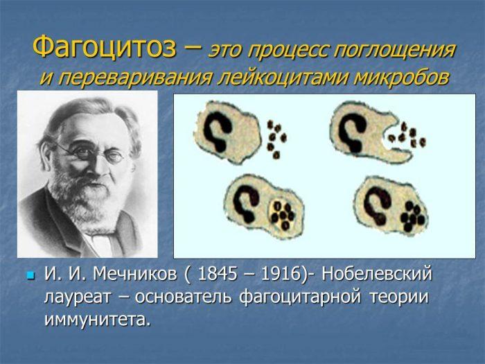 Мечников и схема фагоцитоза