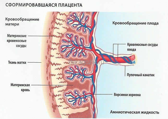 Схема кровообращения в плаценте