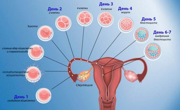 развитие эмбриона на первой неделе беременности