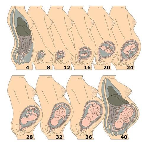 Увеличение матки по неделям беременности