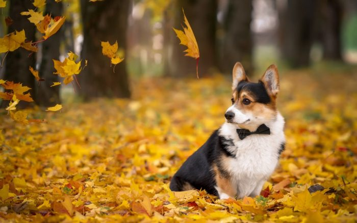 Вельш-корги сидит в жёлтой листве