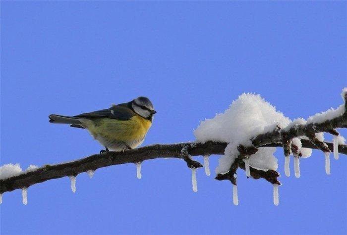 Синичка сидит на ветке, снег на ней подтаивает и капает
