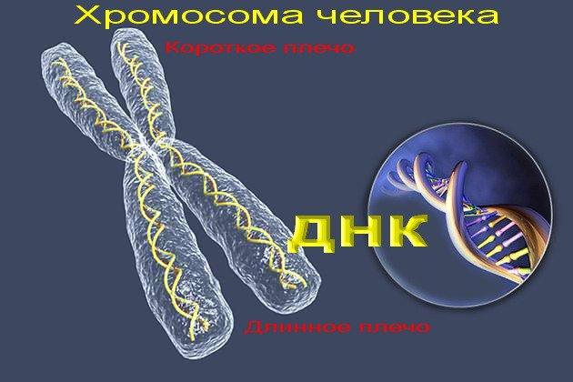 строение хромосомы человека