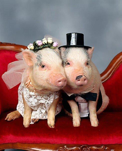 Два поросёнка, наряженые в костюмы жениха и невесты
