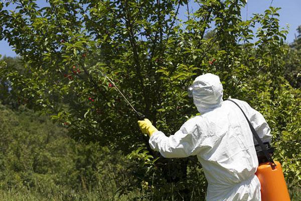 Дерево черешни обрабатывают химическими веществами