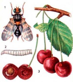 Вишнёвая муха, её личинка крупным планом и в черешне, муха сидит на ягоде