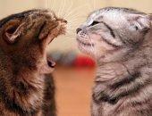 кот шипит на кошку