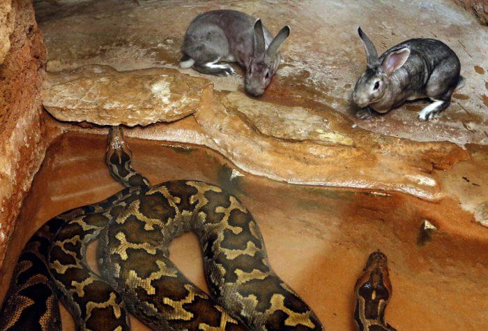 Кролики в вольере с питоном в зоопарке