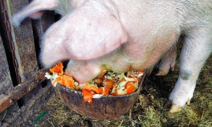 Свинья есть отходы из корыта