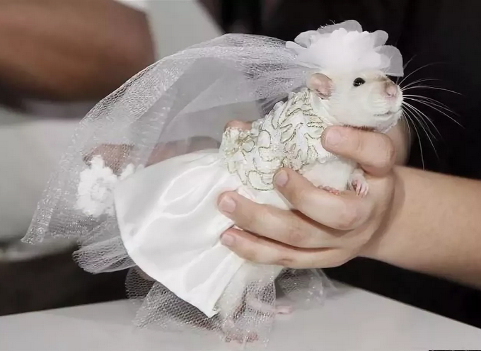 Хомяк, наряженный в платье невесты