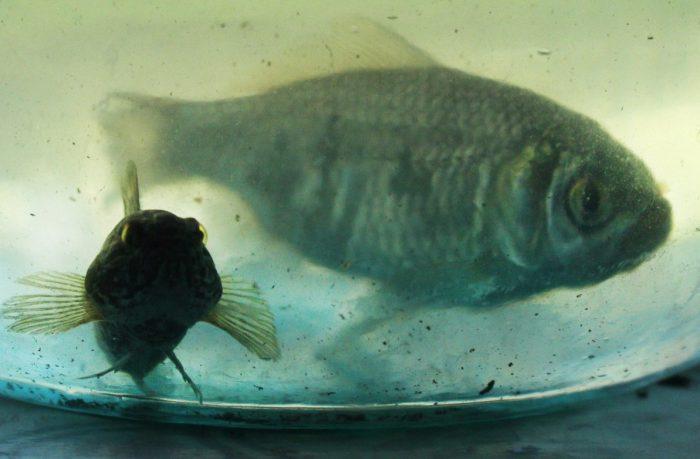 Рыбы плавают в мутной воде