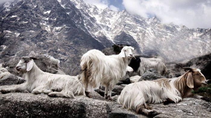 Монгольские козы кашемировой породы